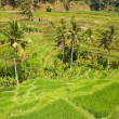 Rice terraces. The island of Bali. Indonesia. — Stock Photo #58350335