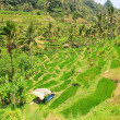 Rice terraces. The island of Bali. Indonesia. — Stock Photo #58350339