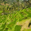 Rice terraces. The island of Bali. Indonesia. — Stock Photo #58350341