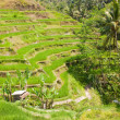 Rice terraces. The island of Bali. Indonesia. — Stock Photo #58350345