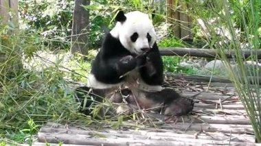Giant panda bear eating bamboo — Stock Video