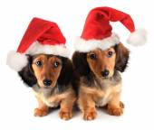 Christmas puppies — Stock Photo
