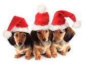 Christmas puppies — Foto Stock