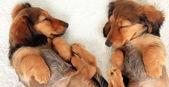 Sleeping dachshund puppies — Stockfoto