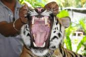Bengal tiger with jaws open — Stock Photo