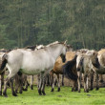 Duelmener horses — Stock Photo #56848645