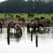 Wild horses on the water — Stock Photo #57222759