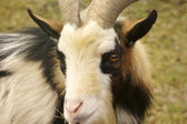 Goat head portrait — Stock Photo
