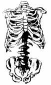 Hand drawn pelvic bone and rib — Stock Vector