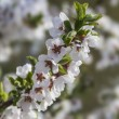 Ornamental cherry branch — Stock Photo #66844625