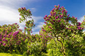 Lilac bushes and trees — Stock Photo