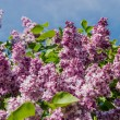 Lilac bush with pale purple flowers — Stock Photo #69894433
