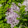 Lilac bush with pale purple flowers — Stock Photo #70052023