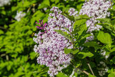 Lilac bush with pale purple flowers — Stock Photo