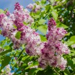 Lilac bush with pale purple flowers — Stock Photo #70288673