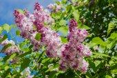 Lilac bush with pale purple flowers — Stock Photo