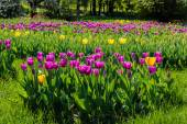 Purple and yellow tulips in the park — Stock Photo