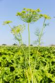 Branches of dill — Stock Photo