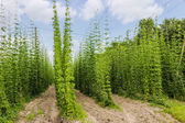 Plantation of hops — Stock Photo
