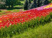 Multicolored tulips in the park — Stock Photo