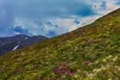 Rhododendron Carpathian. — Stock Photo