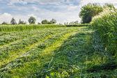 Mown hay — Stock Photo