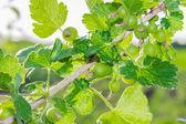 Sprig of gooseberry — Stock Photo