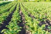 Campo con piantagione di patate — Foto Stock