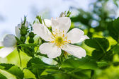 Flower wild rose — Stock Photo