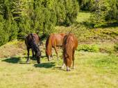 Three horses on a mountain pasture — Stock Photo