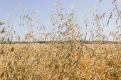 Ripe oat closeup — Stock Photo
