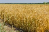 Ripening barley — Stock Photo