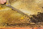 Honeycombs filled with honey, opening the cells — Stock Photo
