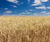 Wheat field against the sky closeup — Stock Photo