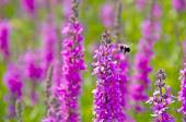Bumblebee in purple loosestrife — Stock Photo
