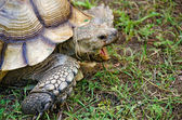 Old tortuise with open mouth — Stock Photo