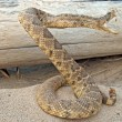 Coiled rattle snake in sand — Stock Photo #60714957