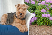Welsh terrier in garden — Stock Photo