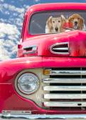 Golden Retriever in red truck — Stock Photo