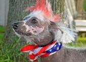 Patriotic Chinese Crested Hairless dog — Stock Photo