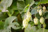 Ripe green hops — Stock Photo
