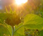 Young sunflower in sunlight — Stock Photo