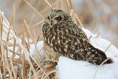 Short Eared Owl — Stock Photo