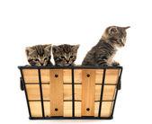Tre gattini tabby — Foto Stock
