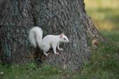 White squirrel on a tree — Stock Photo