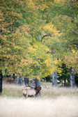 North American elk — Stock Photo