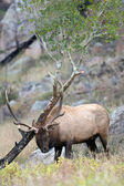 North American elk  — Stock Photo