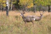 Mule deer in aspen — Fotografia Stock