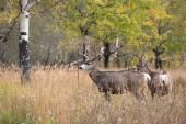 Cerf mulet à aspen — Photo
