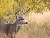 Mule deer in aspen — Stock Photo